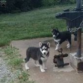 Stella Siberian Husky Puppy For Sale In Illinois Cool Dogs