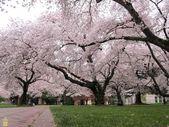 Yoshino Cherry Tree – BEACHHOUSE