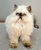 قطط للبيع في أبو ظبي قطة هيمالايا للبيع أنثى عمرها شهرين ونص شوكلت لعوبة عيونها زرقاء ومتدربة على الأكل والشراب وع الليتر بوكس Cats Animals