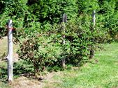 Photo of Blackberry: Description, Species, Planting, Care