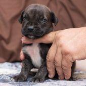 (notitle) – boerboel puppy