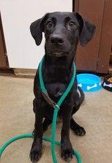 Labrador Retriever Whippet Mix Dog For Adoption In Amarillo Tx