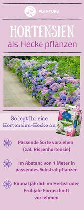 Pflanzen von Hortensien: Standort, Umpflanzen von Pflanzen und Begleitpflanzen   – Blumen im Garten