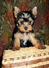Image Result For Craigslist Houston Tx Pets For Sale Teacup Yorkie Puppy Yorkie Puppy Yorkshire Terrier
