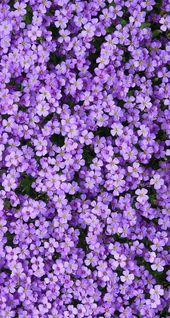 Purple rock cress (Arabis – #Arabis #background #c… – #Arabis #background