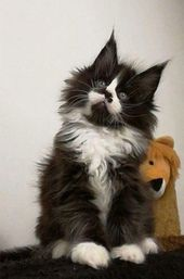 How to tell if a kitten is a Maine Coon – #Coon #one #one #recognizes #ist #K