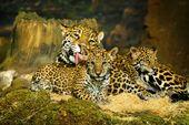 Jaguar Cubs: compra esta foto sin royalties y descubre imágenes similares …   – خميس ابوالدهب