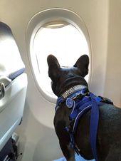 Emotional Support Dog Emotional Support Dog French Bulldog