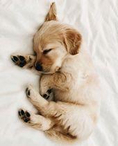 winziger schlafender Golden Retriever Welpe