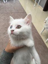 الدولة Uae رقم الموبايل 0555036923 معلومات عن الإعلان Kittens For Sale They Re A Mix Of Dlh Scottish Fold Cats Animals