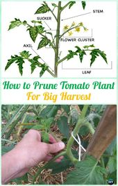 9 Gardener's Gardening Tips to Grow Tomatoes Harvest In Containers
