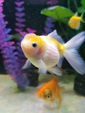 Two 4 Pearl Scale Fancy Goldfish Healthy Unique Yellow Color Lemon Goldfish For Sale Goldfish Live Aquarium