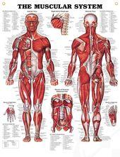 viac než 1000 nápadov omuscular system functions na pintereste, Muscles