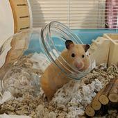 Es ist schon einen Monat her, seit ich Pudge adoptiert habe !! Sie stopft gerne Essen in …   – Hamster