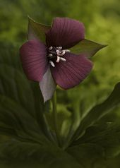 wake robin trillium erectum also known as birthroot and purple trillium