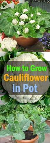 Rising Cauliflower in Containers | City Gardener's Information
