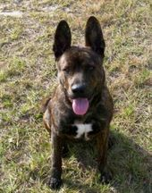 Adopt Buddha On Petfinder Akita Dog Pets Dogs