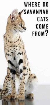 Where Do Savannah Cats Come From Savannah Cat Cat Breeds Savannah Chat