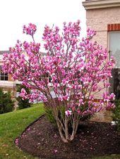 Tulpenbaum mit herrlichen rosa Blumen im Vorgarten