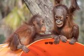 bebé orangután – bebé orangután   – Gorilla und Co