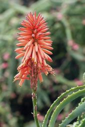 Does Aloe Vera Bloom How To Get Flowers On Aloe Plants Aloe