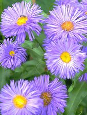Aster Flower Purple White Pink Aster Flowers Aster Flower Flowers Nature Pretty Flowers