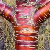 Tibetan Birchbark Cherry Tree Seeds (Prunus serrula) 5 + Samen   – Garden