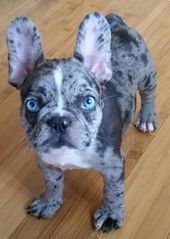 Healthy french bulldogs that are owned by us, at Blue Wave French Bulldog puppie…  – Dogs