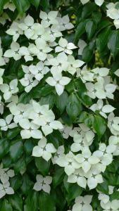 Cornus Kousa Schmetterling Japanese Dogwood Tree Buy Online Dogwood Trees Plants Fruit Flowers