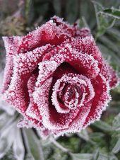 Photo of Schneebedeckte Rose