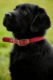 Obtenga más información sobre las entusiastas necesidades de ejercicio del perro Labrador Retriever negro #l …   – Cuteness overload