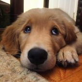 Puppy eyes #welovegoldens by goldenretrievers_  – Hunde