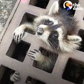 #Amazing – A guy on his way to get the job done found a trapped Raccoon in a sewer grate, so…