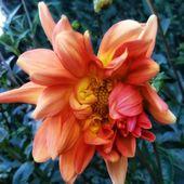#Dahlie # Blüte #Dahliensaison #Dahlie #Orange #Blumen    – gartenglück