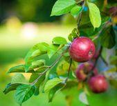 Erbstück-Apfelbäume, zum zu Hause zu pflanzen   – Gardening
