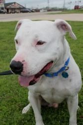 Pin By Dogmylove On Dogo Argentino Dogo Argentino Dog Dogs Terrier Mix Dogs