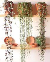 Ceropegia Woodii – Senecio Rowleyanus – Peperomia Pepperspot gorgeous hanging pl…