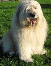 Bearded Collie Puppies   – DAH puppies!