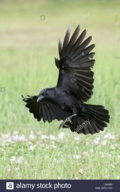 Download this stock image: American Crow in Flight…
