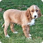 Golden Retriever English Setter Mix Puppy For Sale In Howell