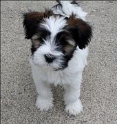 Tibetan Terrier- they basically look like this their entire lives. If you trim t…  – tiere