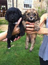 Gorgeous Cavapoochon Puppies Halstead Essex Pets4homes Cavapoochon Poochon Puppies Puppies
