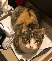 Lost Calico Cat Woodbridge Ct Woodbridge Hide This Posting