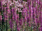 Lythrum salicaria ´Little Robert´ – Hledat Googlem