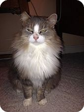 Lancaster Pa Domestic Longhair Meet Minnie A Cat For Adoption Cat Adoption Kitten Adoption Cats