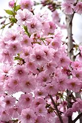 Click To View A Full Size Photo Of First Blush Flowering Cherry Prunus Jfs Kw14 At Countryside Flower Shop Ornamental Cherry Flowering Cherry Tree Plants