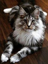 Katzen mit blauen Augen #AreCatsLactoseIntolerant