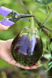 Fiche pratique : l'aubergine