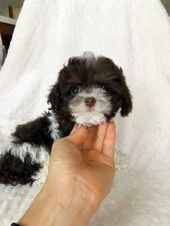 Iheartteacups Miniature Poodle Puppy Puppies For Sale