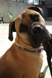 Bronx My Bullmastiff Puppy 10 Months Old Bull Mastiff Puppies Mastiffs